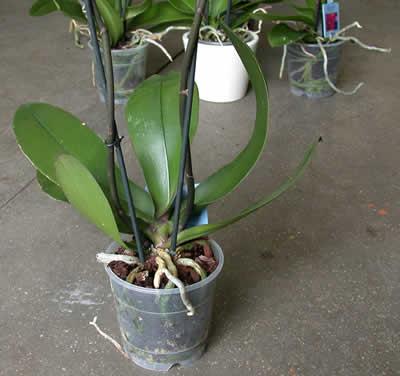 Pungilandia offerte for Vasi per orchidee ikea