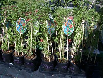 Bacche di goji for Coltivazione goji in vaso